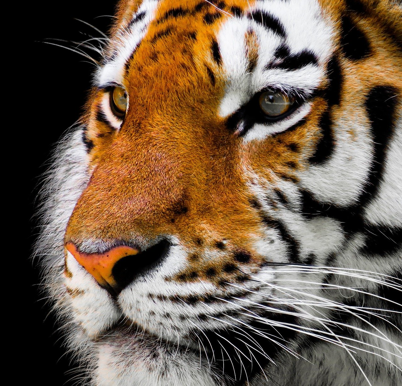 Pysk tygrysa