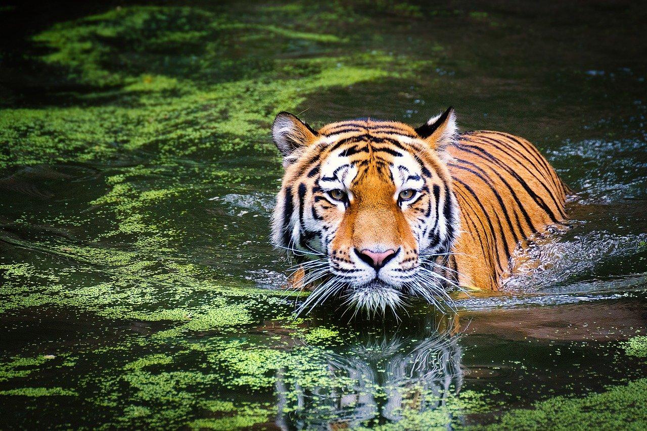 Tygrys w wodzie