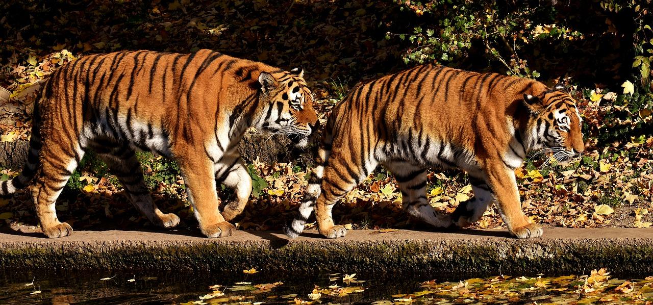 Tygrys afrykański