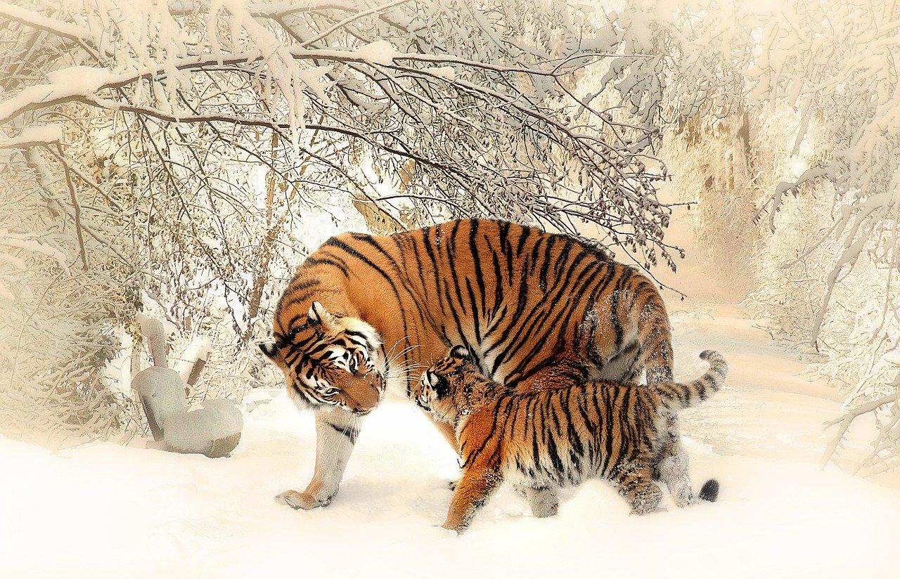 Młody tygrys