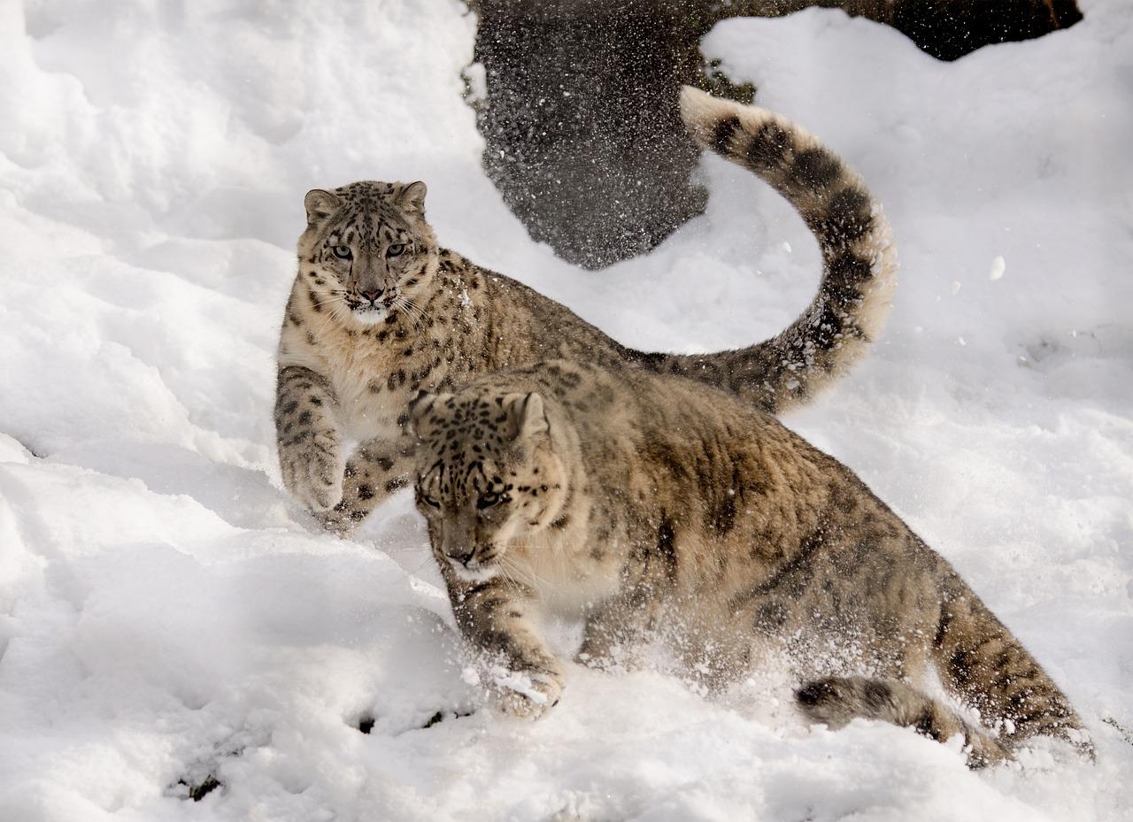 pantera śnieżna