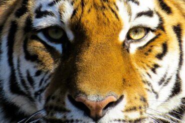 Tygrys – największy kot świata