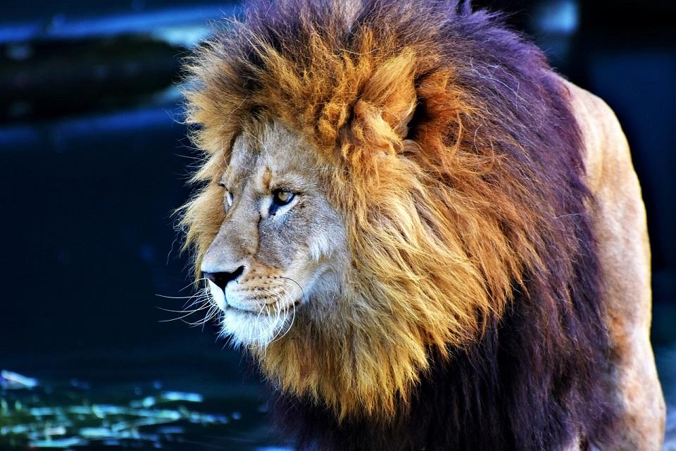 grzywa lwa