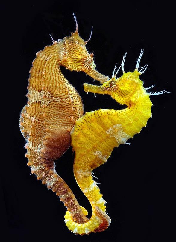ciąża konika morskiego