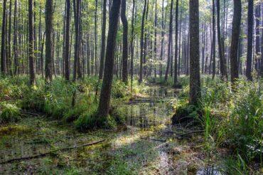 Puszcza Białowieska – zielony oddech Polski
